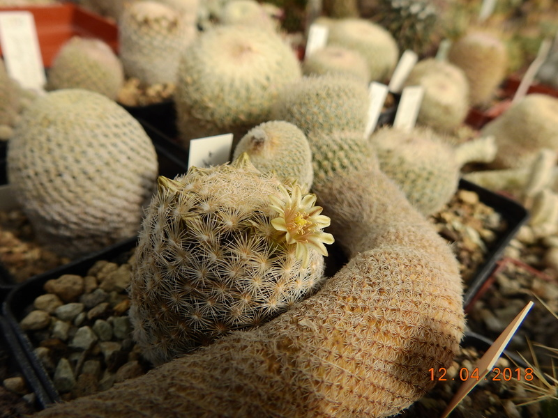 Cacti and Sukkulent in Köln, every day new flowers in the greenhouse Part 191 Bild1960