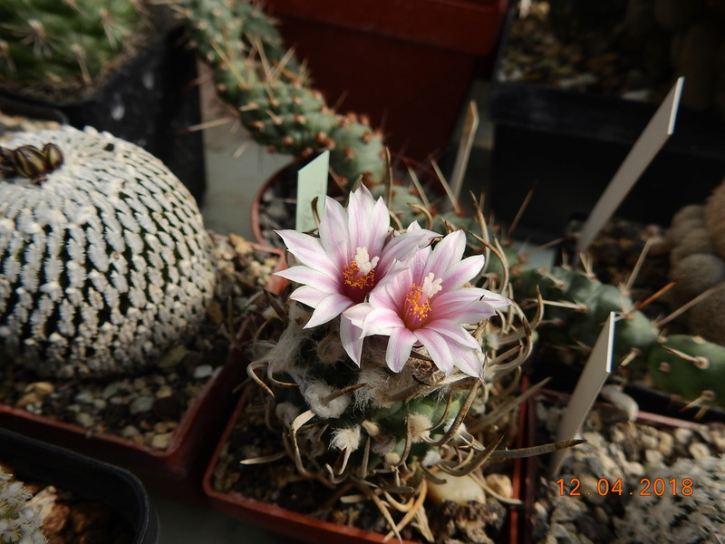 Cacti and Sukkulent in Köln, every day new flowers in the greenhouse Part 191 Bild1961