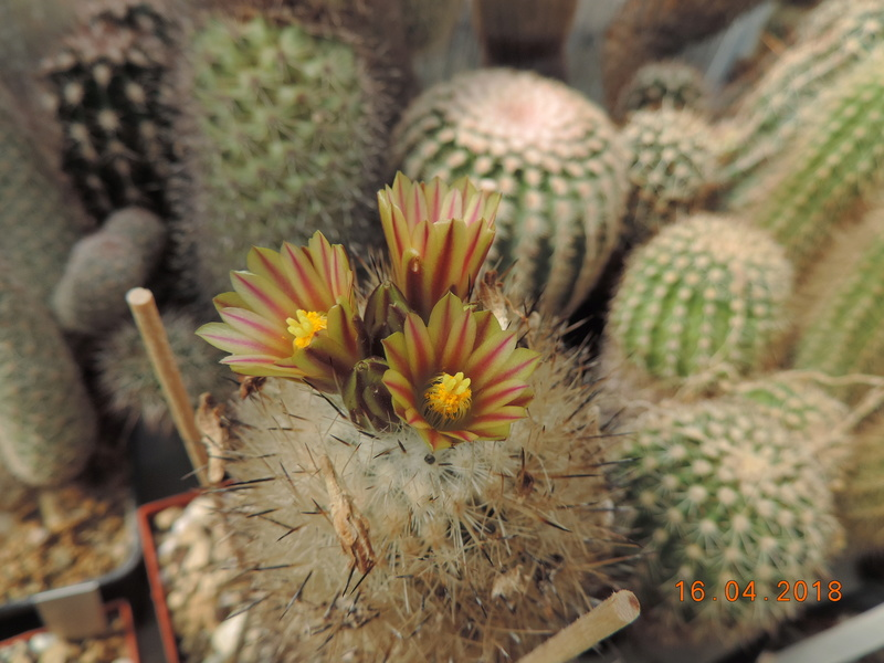 Cacti and Sukkulent in Köln, every day new flowers in the greenhouse Part 191 Bild1987