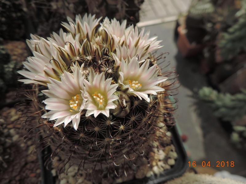 Cacti and Sukkulent in Köln, every day new flowers in the greenhouse Part 191 Bild1990