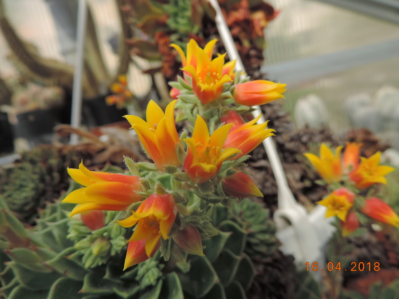 Cacti and Sukkulent in Köln, every day new flowers in the greenhouse Part 191 Bild1992