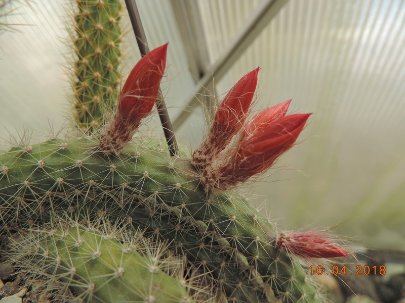 Cacti and Sukkulent in Köln, every day new flowers in the greenhouse Part 191 Bild1993