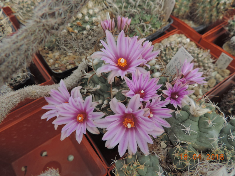 Cacti and Sukkulent in Köln, every day new flowers in the greenhouse Part 191 Bild1994