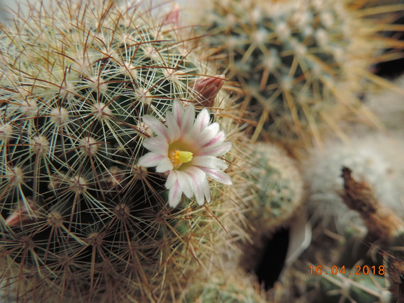 Cacti and Sukkulent in Köln, every day new flowers in the greenhouse Part 191 Bild1998