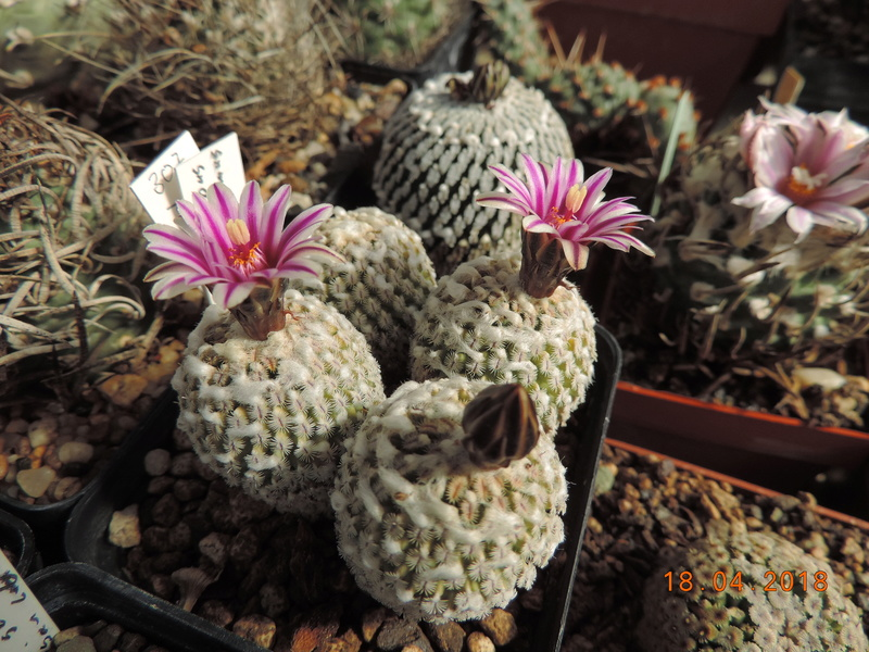 Cacti and Sukkulent in Köln, every day new flowers in the greenhouse Part 191 Bild2007