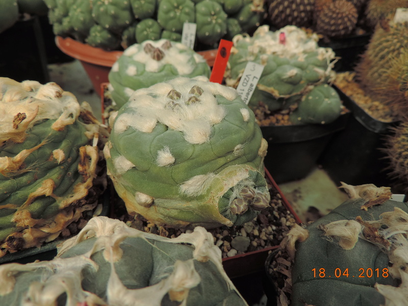 Cacti and Sukkulent in Köln, every day new flowers in the greenhouse Part 191 Bild2013