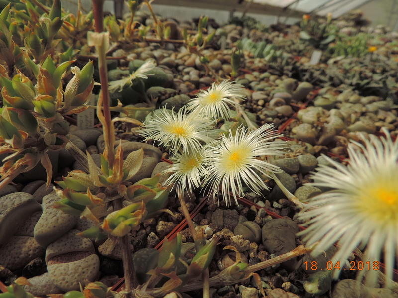 Cacti and Sukkulent in Köln, every day new flowers in the greenhouse Part 191 Bild2014