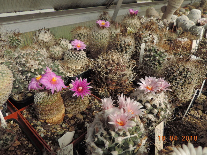 Cacti and Sukkulent in Köln, every day new flowers in the greenhouse Part 191 Bild2015