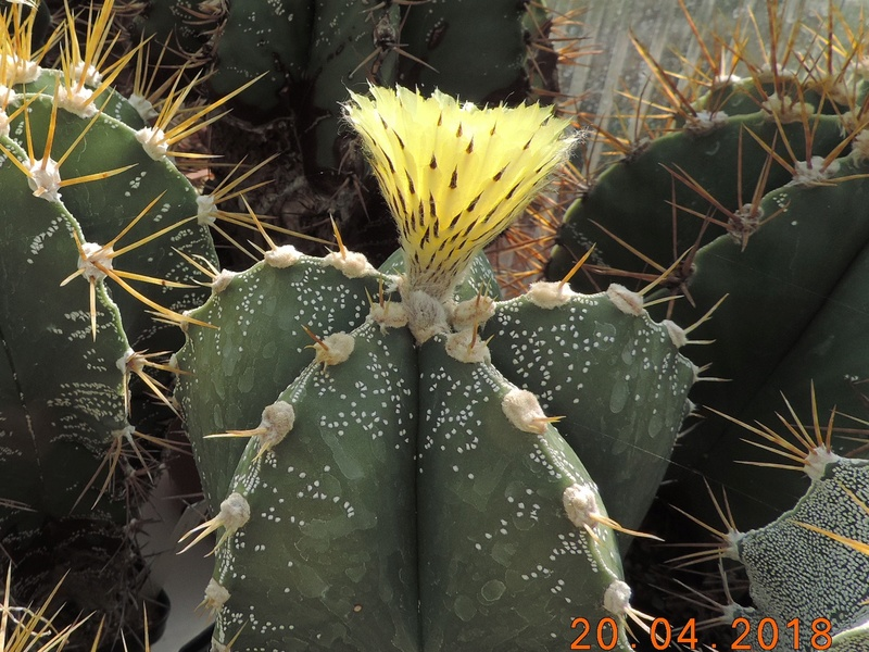 Cacti and Sukkulent in Köln, every day new flowers in the greenhouse Part 191 Bild2025