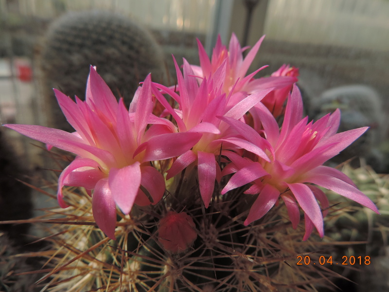 Cacti and Sukkulent in Köln, every day new flowers in the greenhouse Part 191 Bild2028