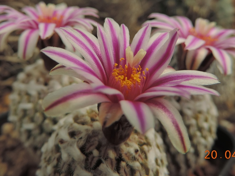 Cacti and Sukkulent in Köln, every day new flowers in the greenhouse Part 191 Bild2029