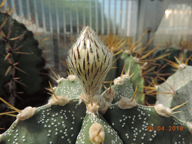 Cacti and Sukkulent in Köln, every day new flowers in the greenhouse Part 191 Bild2030