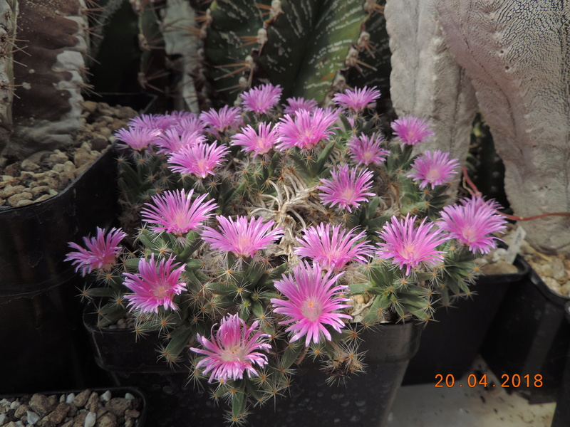 Cacti and Sukkulent in Köln, every day new flowers in the greenhouse Part 191 Bild2031
