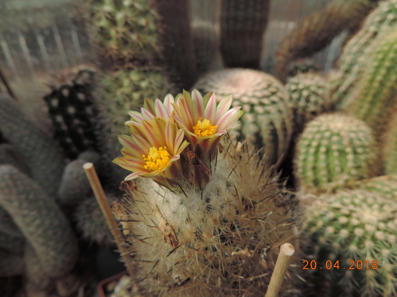 Cacti and Sukkulent in Köln, every day new flowers in the greenhouse Part 192 Bild2037