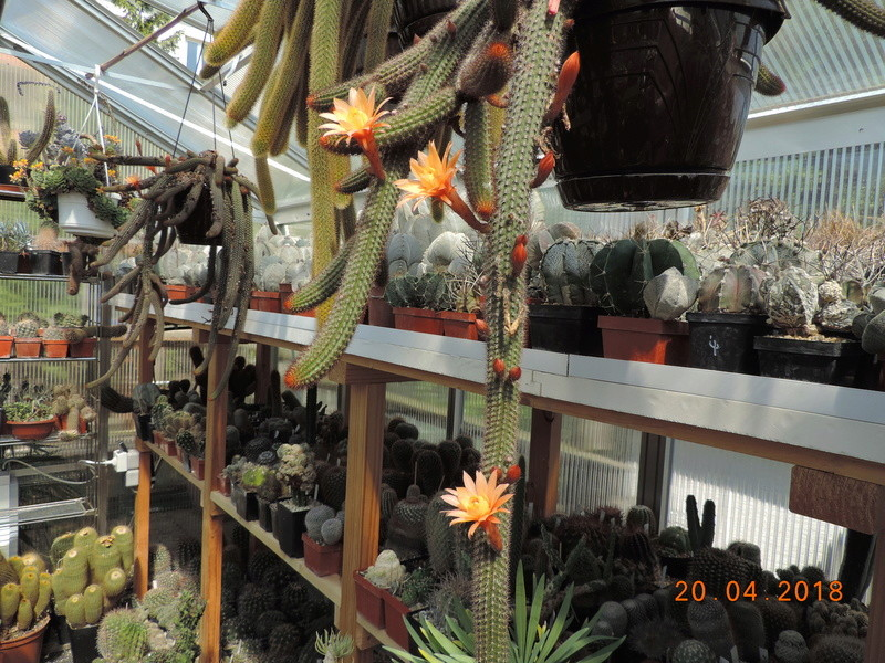 Cacti and Sukkulent in Köln, every day new flowers in the greenhouse Part 192 Bild2040
