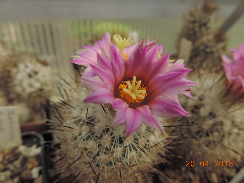 Cacti and Sukkulent in Köln, every day new flowers in the greenhouse Part 192 Bild2042