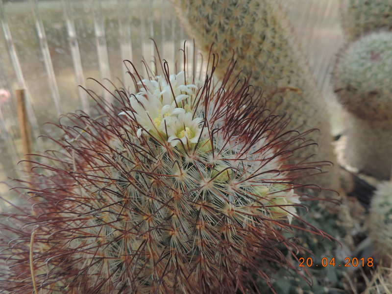 Cacti and Sukkulent in Köln, every day new flowers in the greenhouse Part 192 Bild2043