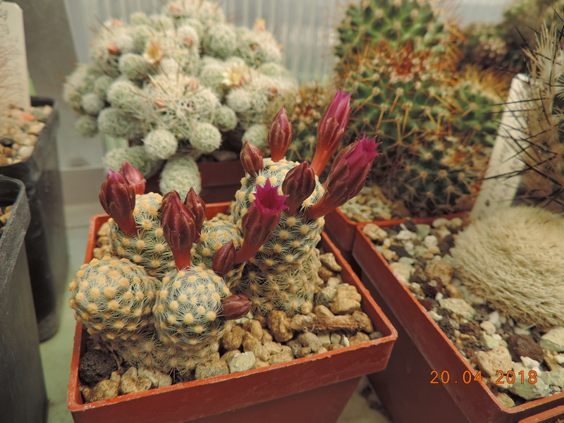 Cacti and Sukkulent in Köln, every day new flowers in the greenhouse Part 192 Bild2049