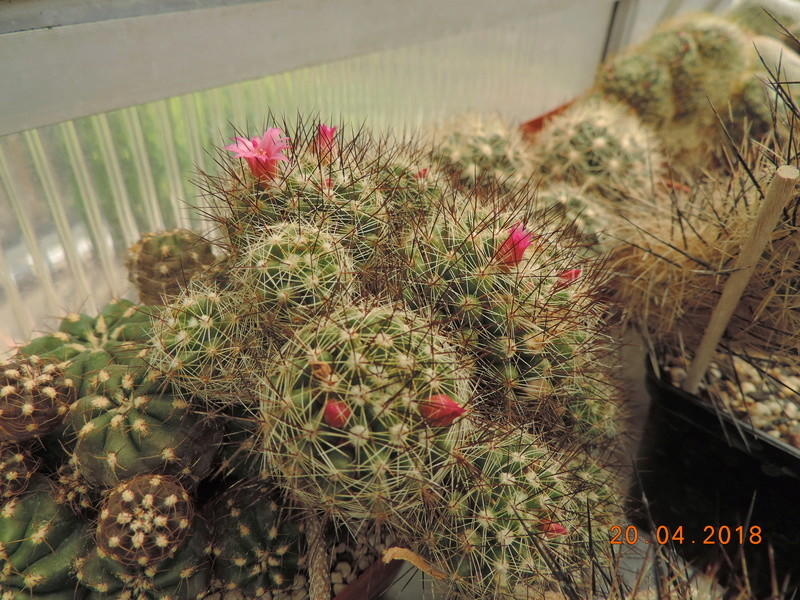 Cacti and Sukkulent in Köln, every day new flowers in the greenhouse Part 192 Bild2050
