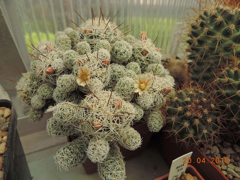 Cacti and Sukkulent in Köln, every day new flowers in the greenhouse Part 192 Bild2051
