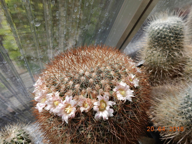 Cacti and Sukkulent in Köln, every day new flowers in the greenhouse Part 192 Bild2057