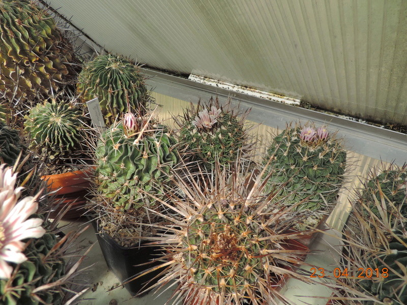 Cacti and Sukkulent in Köln, every day new flowers in the greenhouse Part 192 Bild2066