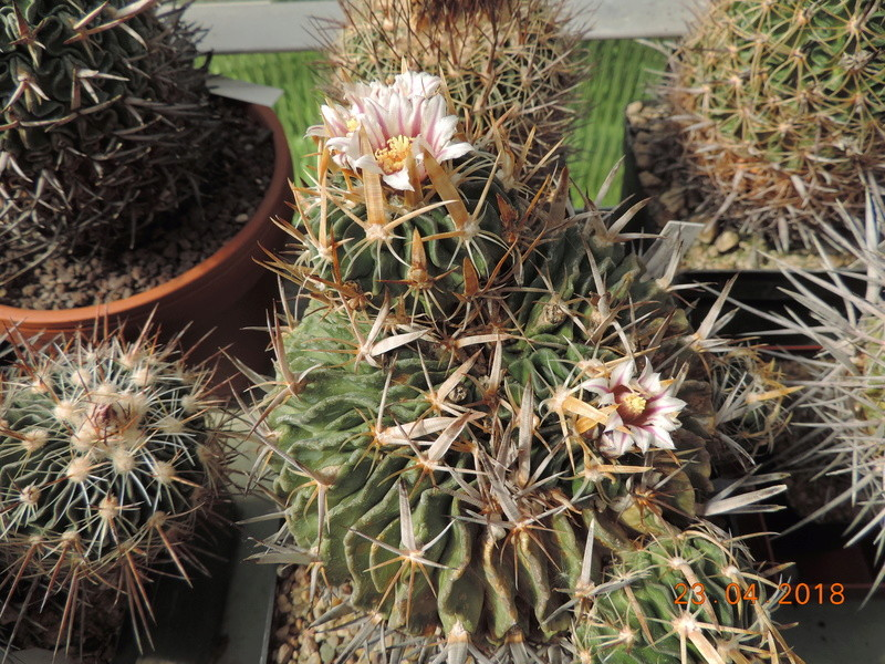 Cacti and Sukkulent in Köln, every day new flowers in the greenhouse Part 192 Bild2094