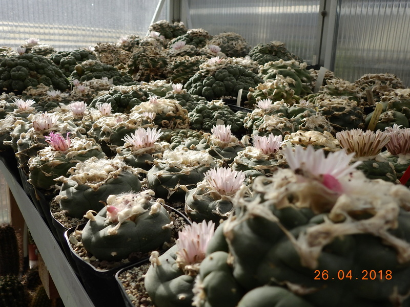 Cacti and Sukkulent in Köln, every day new flowers in the greenhouse Part 192 Bild2098