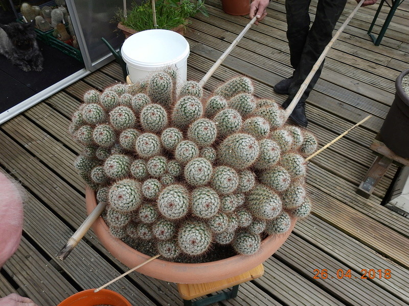 Cacti and Sukkulent in Köln, every day new flowers in the greenhouse Part 192 Bild2114