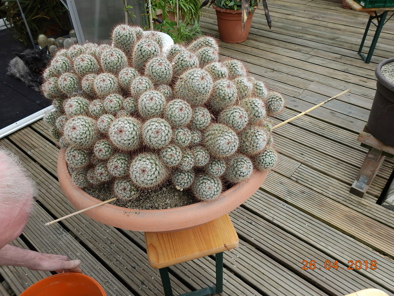 Cacti and Sukkulent in Köln, every day new flowers in the greenhouse Part 192 Bild2115