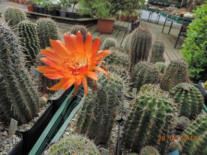 Cacti and Sukkulent in Köln, every day new flowers in the greenhouse Part 193 Bild2128