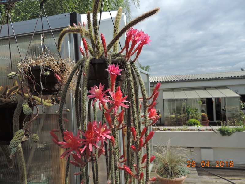Cacti and Sukkulent in Köln, every day new flowers in the greenhouse Part 193 Bild2129
