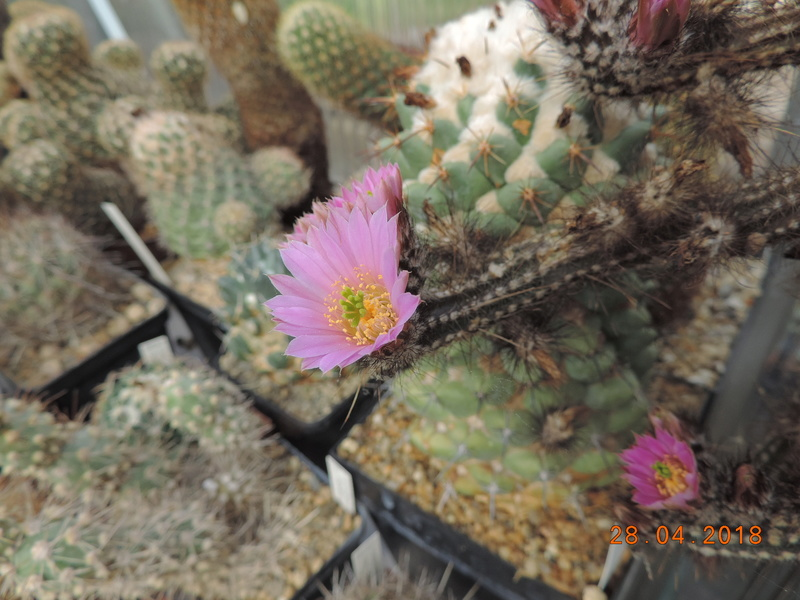 Cacti and Sukkulent in Köln, every day new flowers in the greenhouse Part 193 Bild2133
