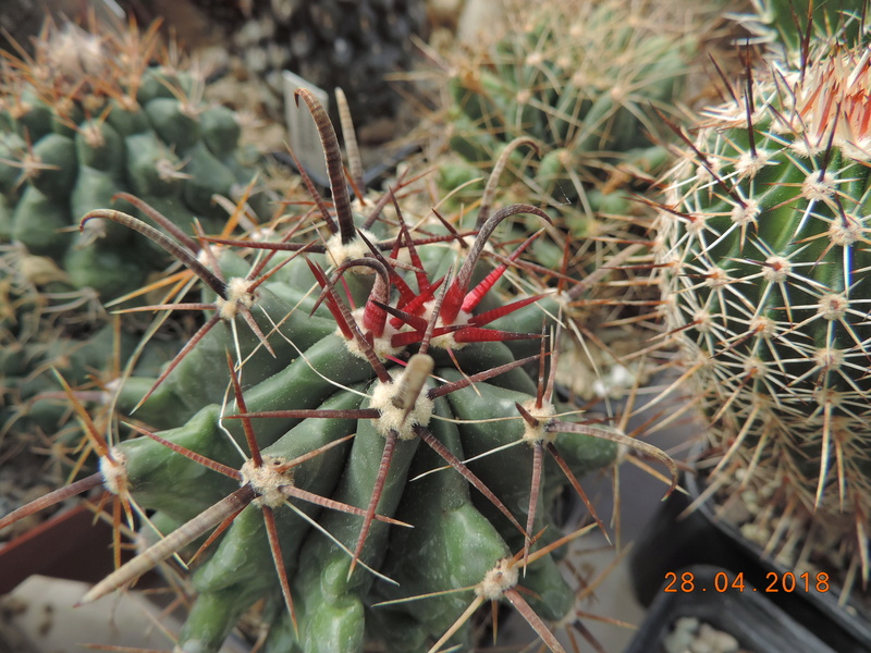 Cacti and Sukkulent in Köln, every day new flowers in the greenhouse Part 193 Bild2134