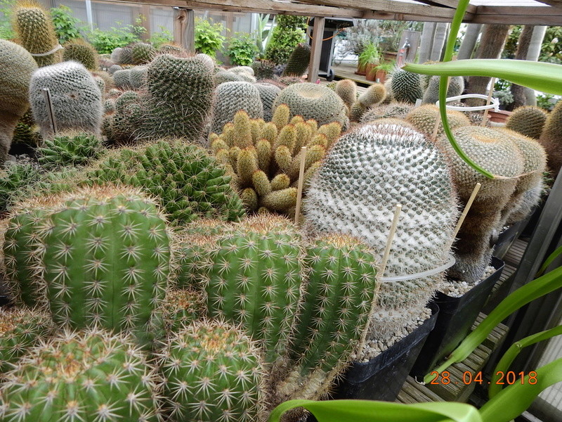 Cacti and Sukkulent in Köln, every day new flowers in the greenhouse Part 193 Bild2135