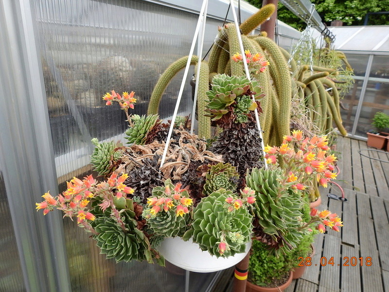 Cacti and Sukkulent in Köln, every day new flowers in the greenhouse Part 193 Bild2136