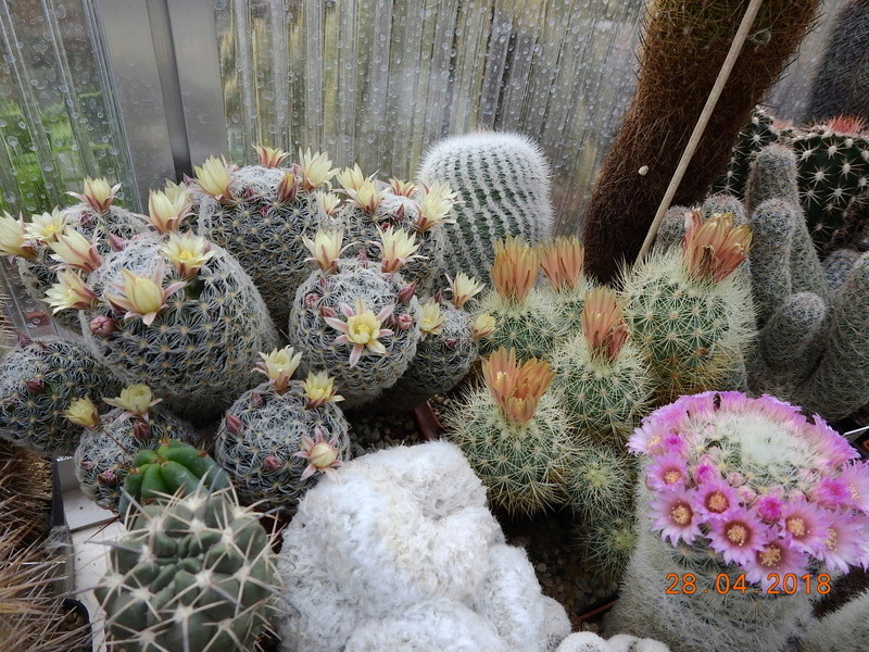 Cacti and Sukkulent in Köln, every day new flowers in the greenhouse Part 193 Bild2140