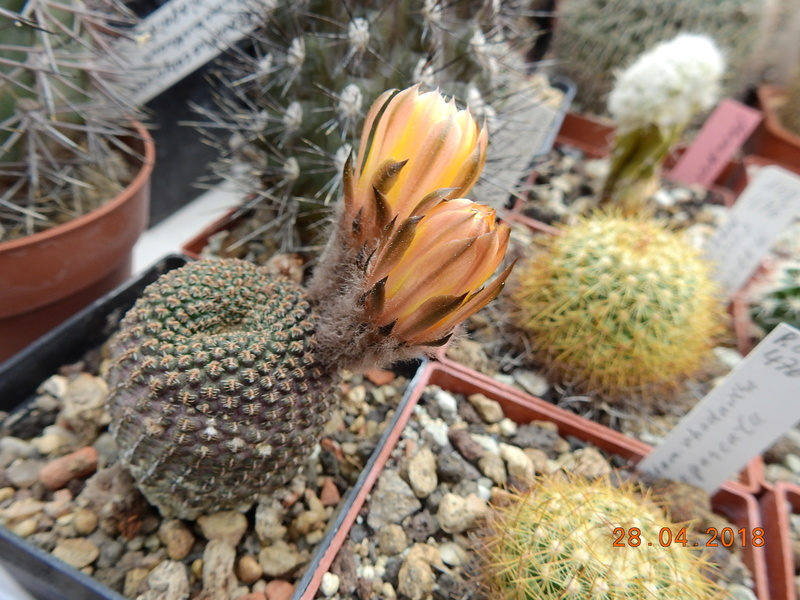 Cacti and Sukkulent in Köln, every day new flowers in the greenhouse Part 193 Bild2141