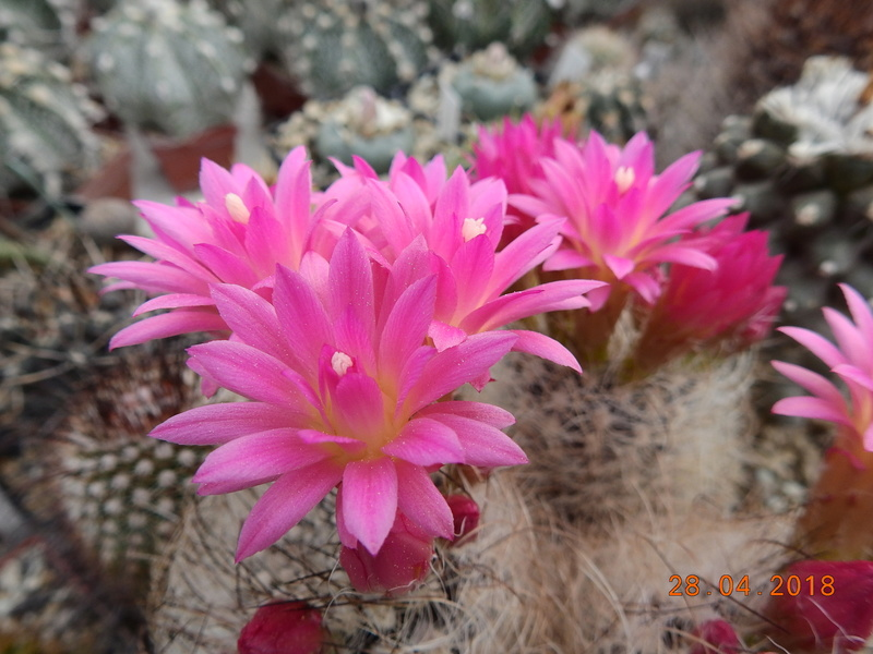 Cacti and Sukkulent in Köln, every day new flowers in the greenhouse Part 193 Bild2144