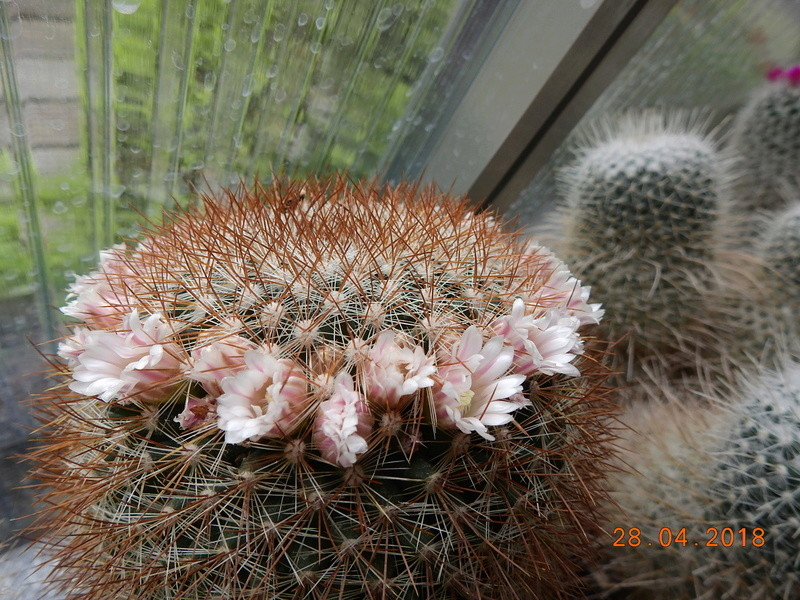 Cacti and Sukkulent in Köln, every day new flowers in the greenhouse Part 193 Bild2145