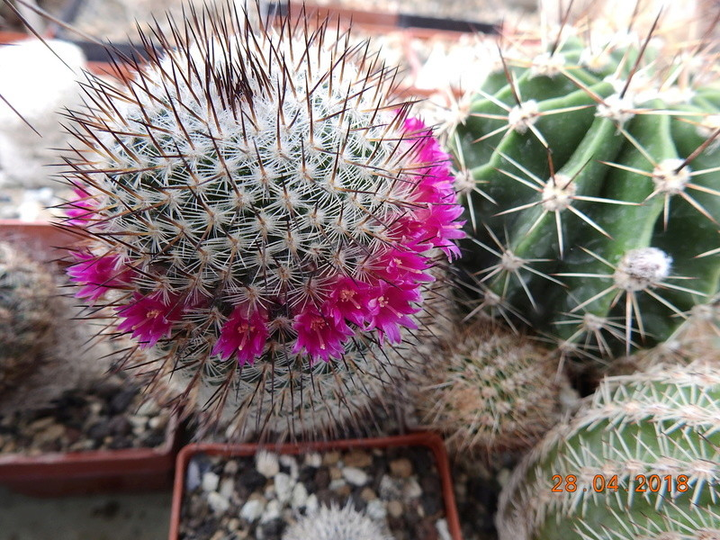 Cacti and Sukkulent in Köln, every day new flowers in the greenhouse Part 193 Bild2147