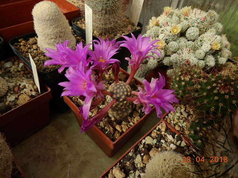 Cacti and Sukkulent in Köln, every day new flowers in the greenhouse Part 193 Bild2149