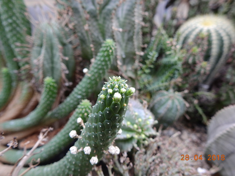Cacti and Sukkulent in Köln, every day new flowers in the greenhouse Part 193 Bild2151
