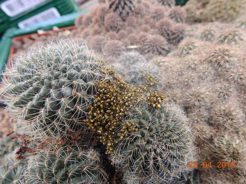 Cacti and Sukkulent in Köln, every day new flowers in the greenhouse Part 193 Bild2158