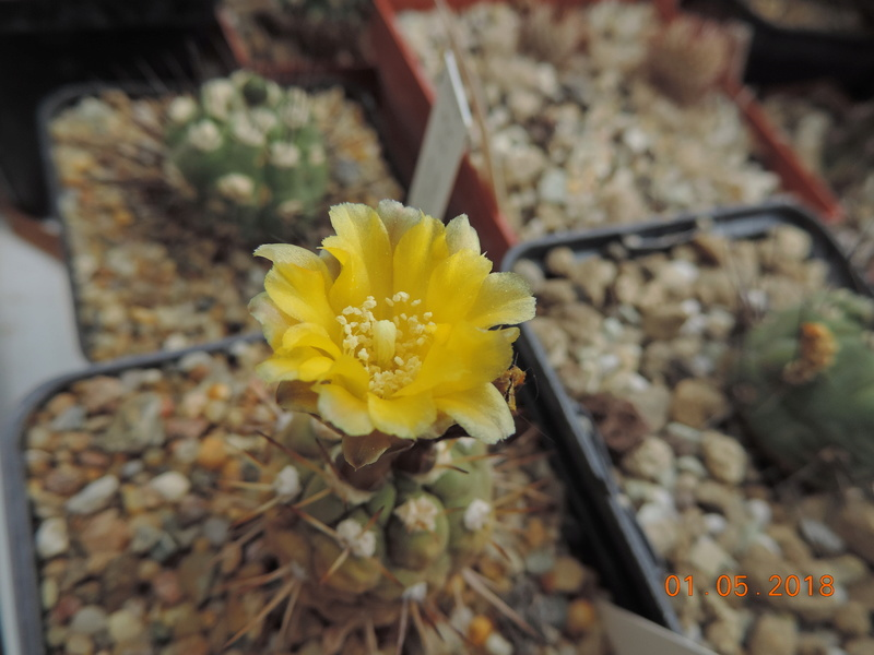 Cacti and Sukkulent in Köln, every day new flowers in the greenhouse Part 193 Bild2163