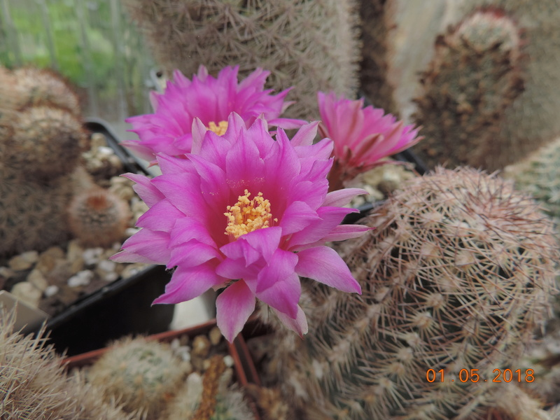 Cacti and Sukkulent in Köln, every day new flowers in the greenhouse Part 193 Bild2165