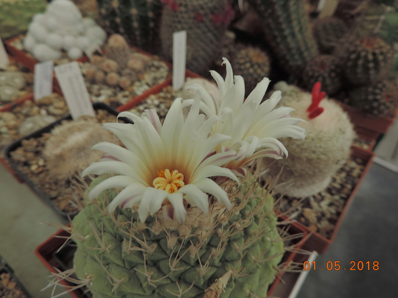 Cacti and Sukkulent in Köln, every day new flowers in the greenhouse Part 193 Bild2167