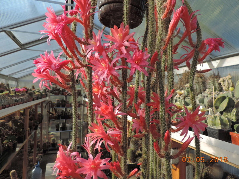 Cacti and Sukkulent in Köln, every day new flowers in the greenhouse Part 193 Bild2191