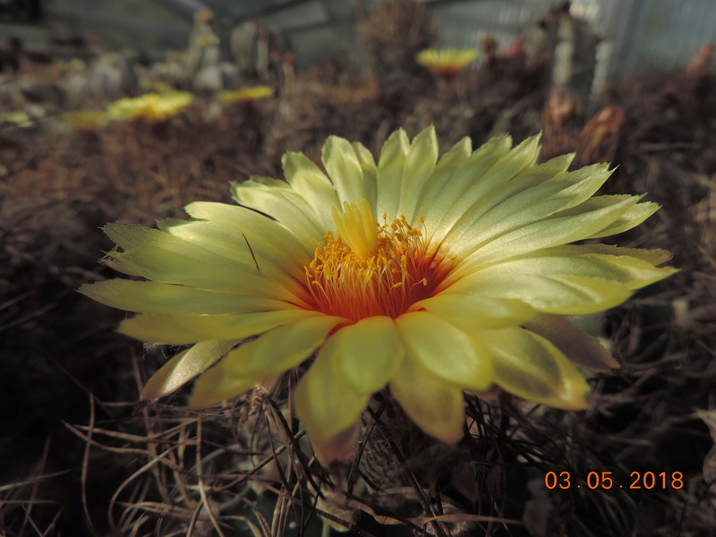 Cacti and Sukkulent in Köln, every day new flowers in the greenhouse Part 193 Bild2192