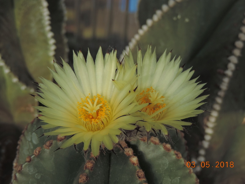 Cacti and Sukkulent in Köln, every day new flowers in the greenhouse Part 193 Bild2193